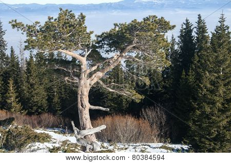 Coniferous tree amid pine forest