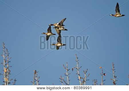 Flock Of Wigeons Flying Above The Trees