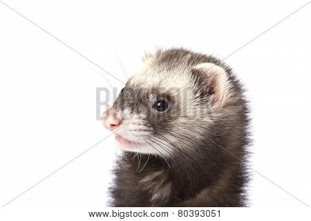 The surprised face ferret