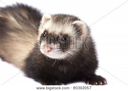 Beautiful ferret
