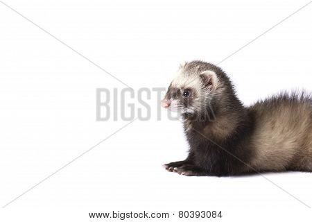 Amazing ferret
