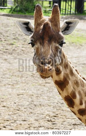 Portrait Of A Curious Giraffe