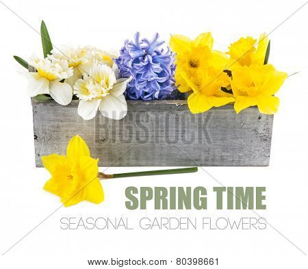Spring flowers in wooden box. Isolated on white background
