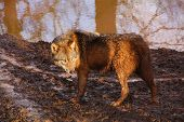 image of mud pack  - a gray wolf running in mud on a sunny day - JPG