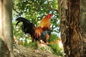stock photo of bantams  - Beautiful Thai Bantam Chicken Single Hold The Trees - JPG