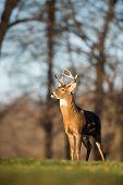 stock photo of deer rack  - Whitetailed deer buck in a meadow in Jefferson Barracks National Cemetery near St - JPG