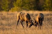 picture of sparring  - Two bull elk sparring in an open meadow at sunrise in Rocky Mountain National Park near Estes Park Colorado - JPG