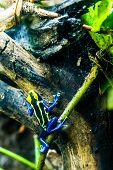 pic of dart frog  - A Yellow and Black Poison Dart Frog Crawling Around on a Tree in the Rain Forest Jungle - JPG