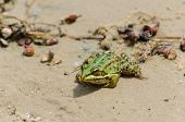 picture of wart  - Fat warted toad on the bank of the river - JPG