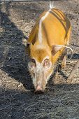 pic of wild hog  - Red river hog  - JPG