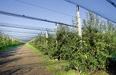 picture of hail  - Modern apple plantation with net against hail and birds - JPG