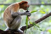 foto of southeast asian  - Proboscis Monkeys Nasalis larvatus or long - JPG
