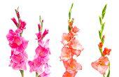 pic of gladiolus  - Studio Shot of mixed Colored Gladiolus Isolated on White Backgroud  - JPG