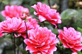 picture of raindrops  - Dahlia flowers and raindrop - JPG