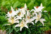 picture of easter lily  - Easter lilies outside in a garden during the spring season - JPG
