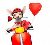 picture of vespa  - valentines chihuahua dog with rose in mouth driving a motorbike vespa roller - JPG