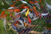 stock photo of koi  - Koi fishes crowding in the small pond - JPG
