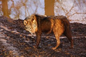 picture of mud pack  - a gray wolf running in mud on a sunny day - JPG