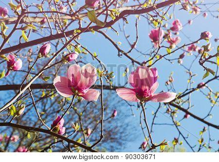 Abloom Magnolia Tree In Springtime