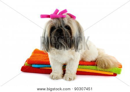 Cute Shih Tzu on colorful towels isolated on white