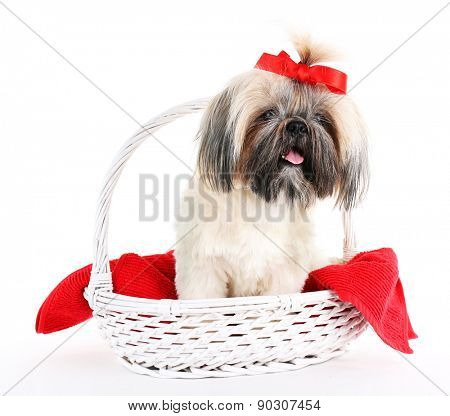 Cute Shih Tzu in wicker basket isolated on white