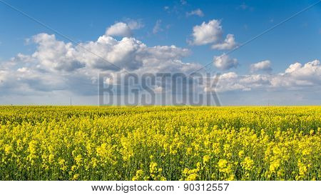 Blossom colza field and blue sky