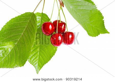 Sprig Of Cherries With Berries And Leaves