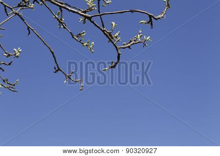 Branches Of Apple Trees