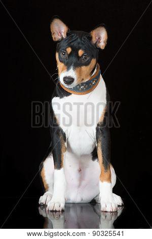 basenji dog on black