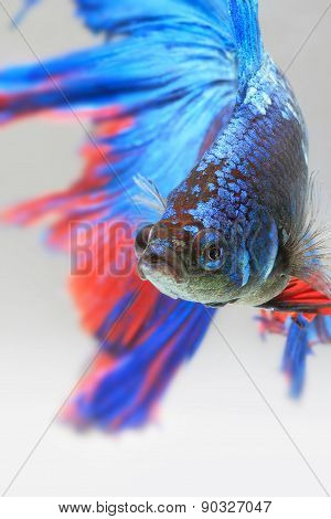 Siamese Fighting Fish,colorful Half Moon Type.