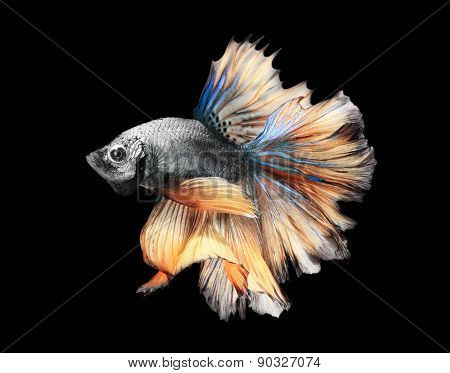 Siamess fighting fish.