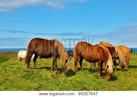 Charming horses on free ranging on the beach. July in Iceland
