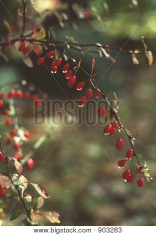 American Barberry, Red, W/ Dew
