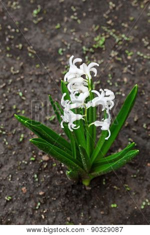 white hyacinth on a background of the earth
