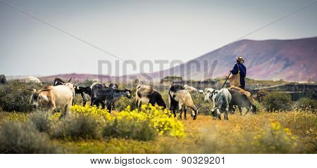 Goats, pasturing on a beautiful mountainous meadow with the shepherd