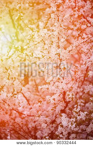 Flowering spring trees. Sunset in spring or summer landscape background. Springtime. Summertime. Allergic to pollen of flowers. Spring allergy