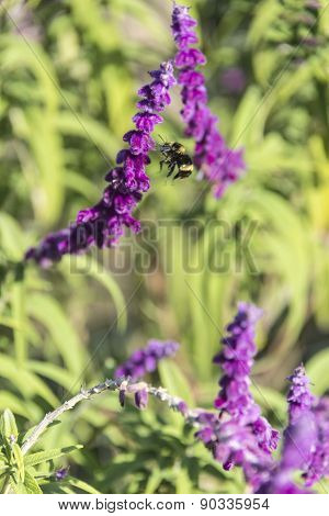 Bumblebee Flies Over Amethyst Sage
