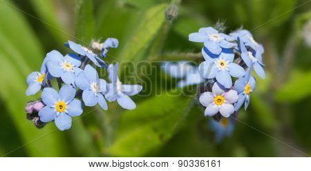 Forget-me-not flower, Myosotis, in sunny spring garden
