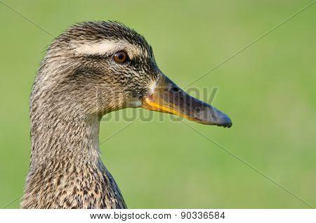 Close Profile Of Female Mallard Duck On A Green Background