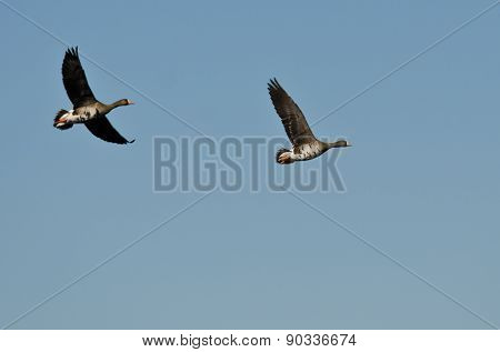 Two Greater White-fronted Geese Flying In A Blue Sky