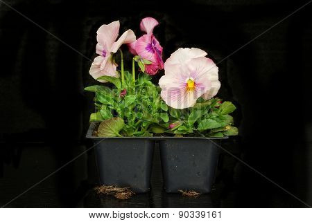 Pink pansies in a pony pack on black background