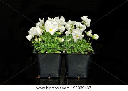 White violets in a pony pack on black background
