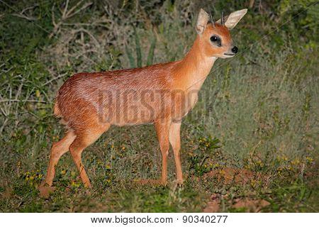 A rare Cape grysbok antelope (Raphicerus melanotis), South Africa