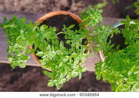 Greek basil potted garden herbs