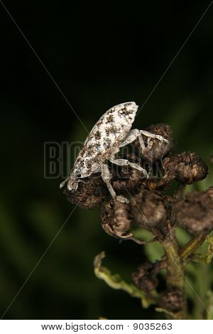 Weevil (Curculio)