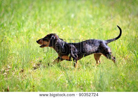 Funny dachshund dog grass in a sunny day
