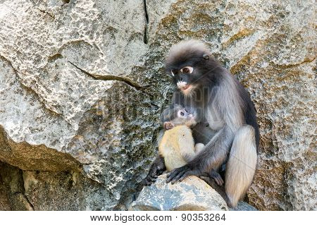 young dusky langur in hug of mother