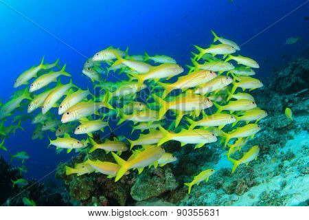 School yellow fish: Yellowfin Goatfish