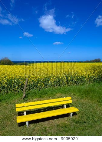 Yellow bench in front of canola field and the sea