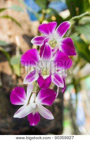 Violet Orchids Flowers